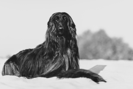 Black and white portrait of gorgeous Afghan Hound lying on sand in desert
