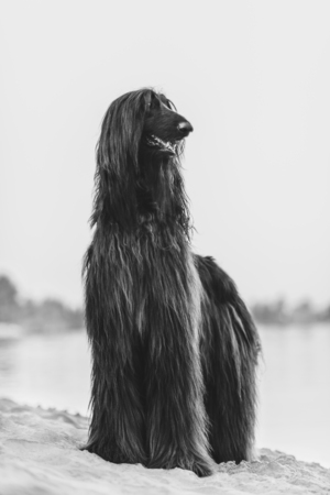 Black and white front portrait of Afghan Hound standing on sand in desert Reklamní fotografie - 123837744