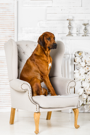 Rhodesian Ridgeback dog sitting in chair in front of  flower fireplace