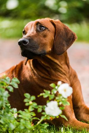 Adorable Rhodesian Ridgeback dog portrait in flowers