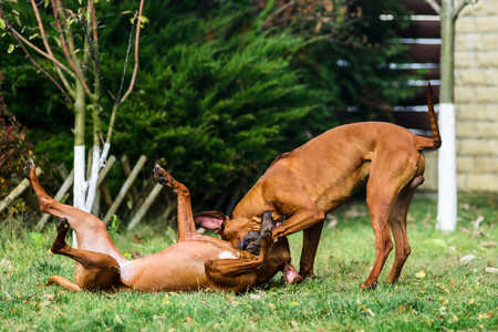 Two funny friendly Rhodesian Ridgeback dogs playing, running, chasing