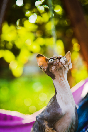 close-up portrait of beautiful curious spotty hairless sphynx cat sitting on colorful textile background, looking for birds on tree
