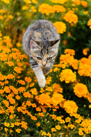 Cute playful cat jumping over yellow tagetes flowers on sunny day Stock Photo