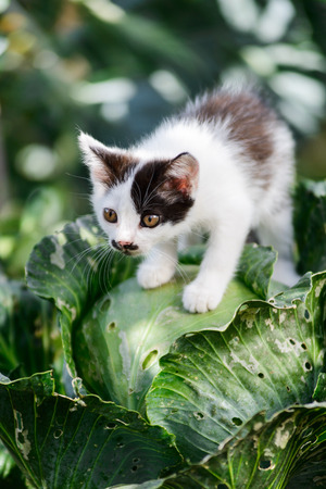 Cute funny curious kitten cat sitting on cabbage ready to jump