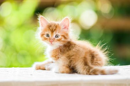 Ritratto di adorabile giocoso gattino lanuginoso arancio rosso su sfondo natura estate soleggiata