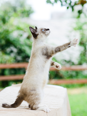 cute white and gray cat catching toy by paws, claws released, standing on legs Stock Photo