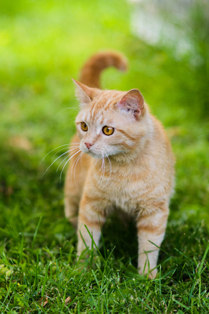 Cute red silly face cat playing in grass chasing toy Stock Photo