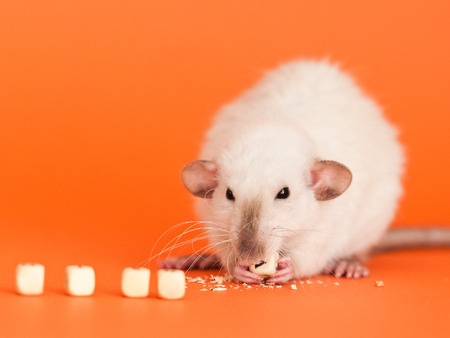 Cute white dumbo fancy rat eatting one of five cube beads for letters on orange background to put text