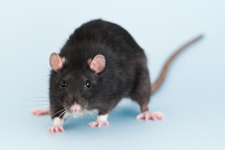Cute grey fancy rat on blue background