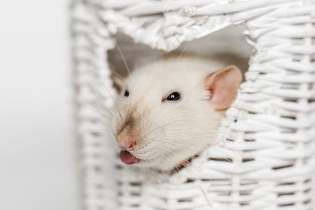 Cute fancy rat showing its tongue in heart shaped white osier vase window
