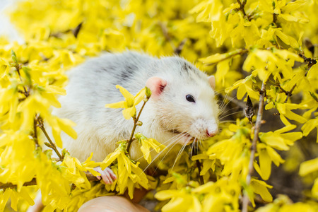 Funny white and grey dumbo fancy rat sitting in gorgeous spring yellow forsythia Easter tree flower blossom washing up. Chinese New year 2020 symbol christmas greeting post card