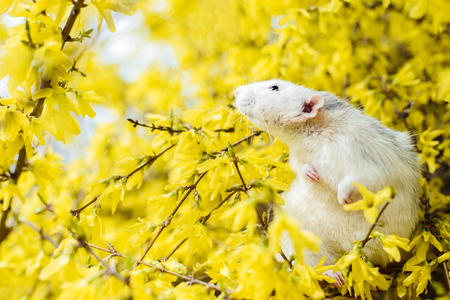 Cute white and grey dumbo fancy rat sitting in gorgeous spring yellow forsythia Easter tree flower blossom inhaling floral fragrance. Chinese New year 2020 symbol christmas greeting post card Stock Photo