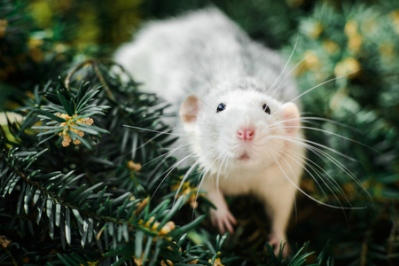 Cute white and grey dumbo fancy rat sitting in ever green festive spruce fir pine tree. Chinese New year 2020 christmas greeting post card