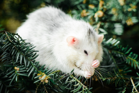 Funny white and grey dumbo fancy rat washing up in ever green festive spruce fir pine tree. Chinese New year 2020 christmas greeting post card