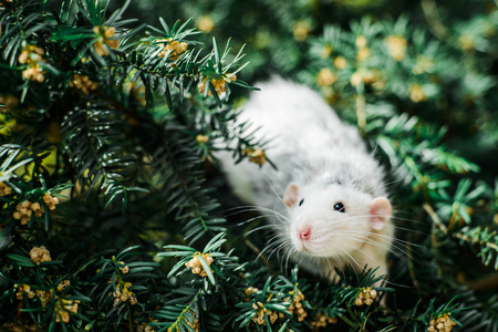 Adorable white and grey dumbo fancy rat sitting in ever green festive spruce fir pine tree. Chinese New year 2020 christmas greeting post card