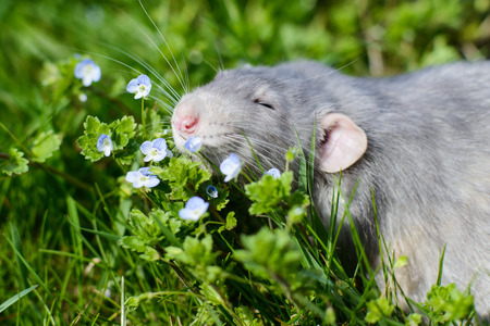 Adorable grey dumbo fancy rat sitting in green grass and blue forget-me-not flowers. Chinese New year 2020 greeting post card Stock Photo