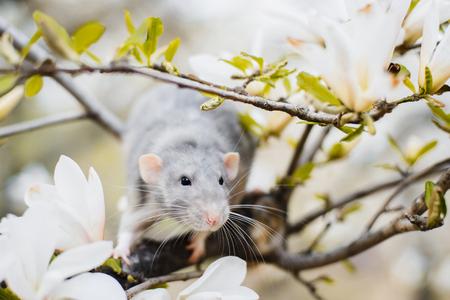Süße weiße und graue Dumbo-Fantasy-Ratte, die in wunderschöner weißer Magnolienblüte sitzt. Chinesische Neujahrsgrußpostkarte 2020 Standard-Bild