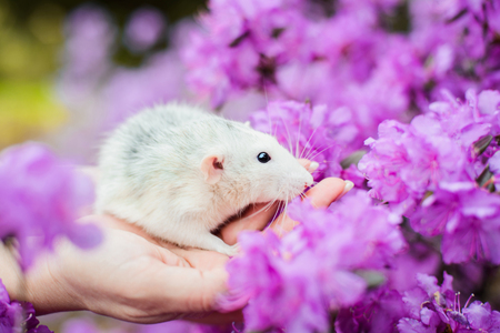 Tender white and grey dumbo fancy rat sitting on girls hands in gorgeous purple azalea bush flowers blossom. Chinese New year 2020 greeting post card