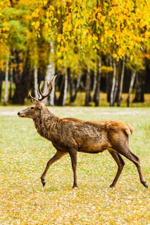 Adult deer walking in golden autumn forest Stock Photo