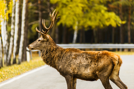 Red deer stag crossing empty road in autumn landscape