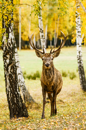 Adult deer standing in autumn forest Stock Photo
