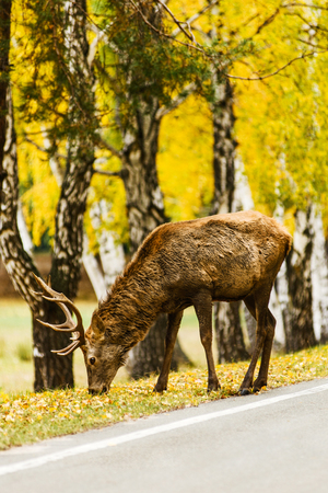 Red deer feeding on road sideline