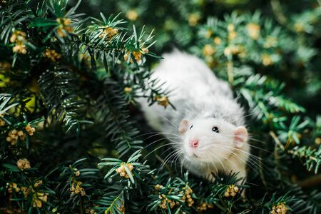 fancy rat on christmas fir tree, Chinese New year 2020