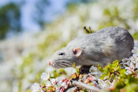 fancy rat in spring cherry blossom, Chinese New year 2020