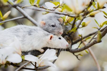 two fancy rats in magnolia blossom, Chinese New year 2020