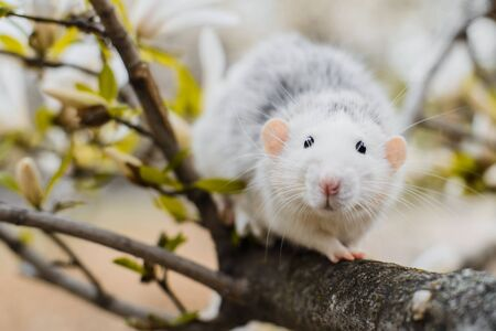 fancy rat in magnolia blossom, Chinese New year 2020 symbol