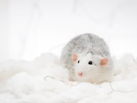grey fancy rat on white snow winter background