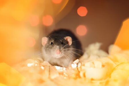 fancy rat sitting in christmas garland lights decorations Imagens
