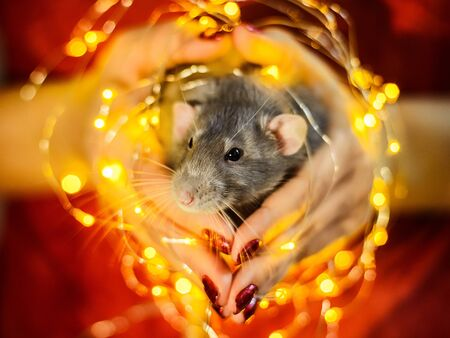 fancy rat sitting in girls hands surrounded with christmas garland lights Imagens