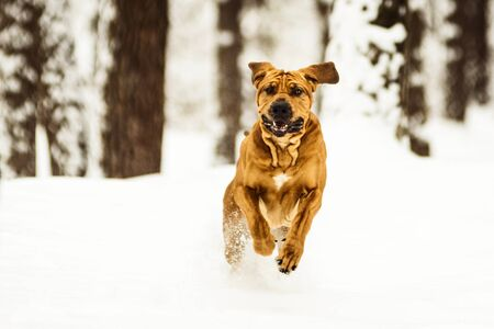 Adult Fila Brasileiro having fun in snow Stok Fotoğraf