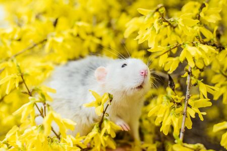 fancy rat in yellow forsythia blossom, Chinese New year 2020