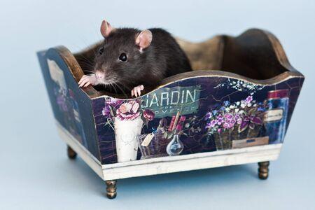 grey fancy rat in stylized vintage box