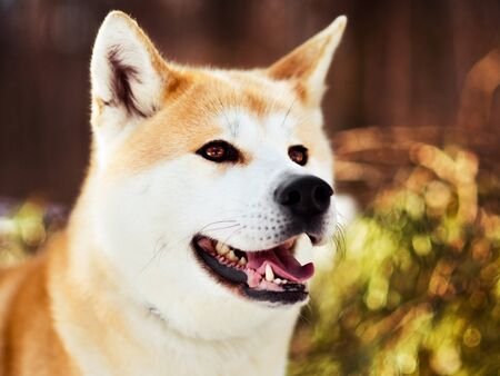 Close-up portait of smiling Japanese Akita inu dog in winter 写真素材