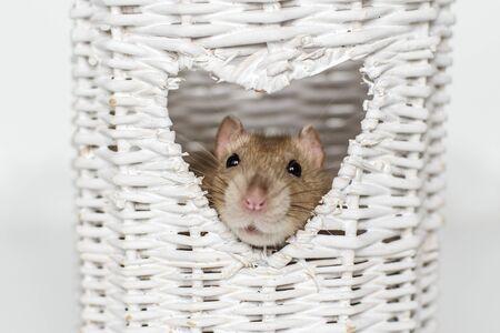 Cute fancy rat in heart shaped vase window