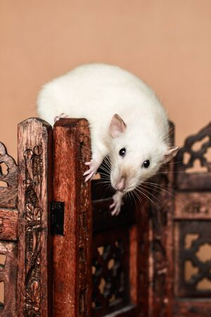 White funny rat balancing on wooden folding screen