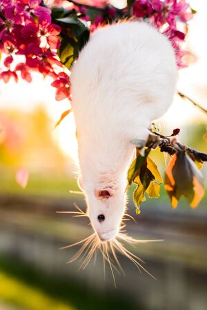 Adorable fancy rat sitting in spring apple blossom Imagens