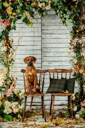 Rhodesian Ridgeback sitting on a chair in autumn decorations Stock Photo