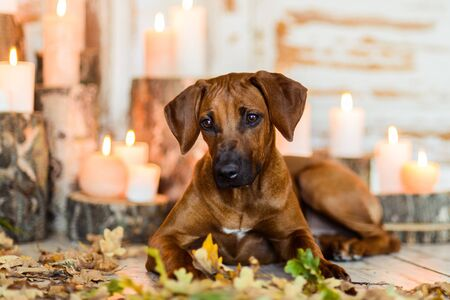 Cute Rhodesian Ridgeback puppy lying on candles background in autumn decorations Stock Photo