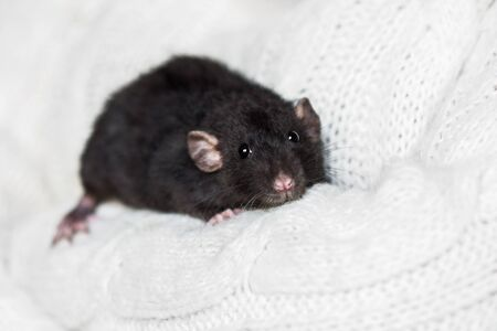 Cute dark grey fancy rat on snow white sweater