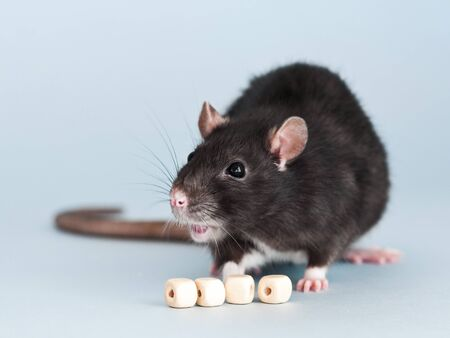 Cute grey fancy rat with cube beads for letters on blue background to put text Stok Fotoğraf