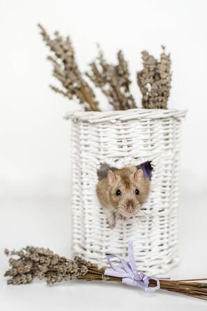 Cute fancy rat portrait in heart shaped white osier vase window with lavender Stock fotó