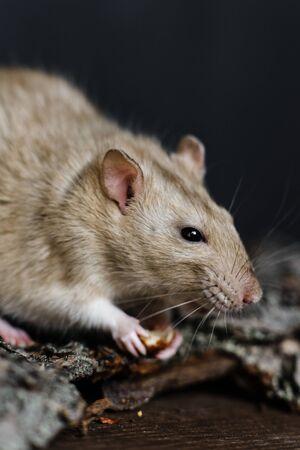 Grey fancy rat eating seeds sitting on bark of tree on dark wooden background, vertical shot