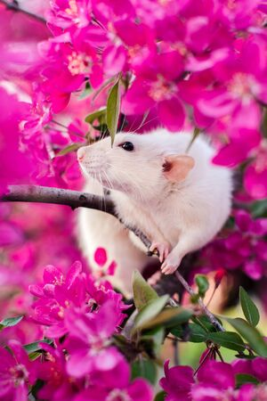 Adorable fancy rat sitting in gorgeous spring apple blossom inhaling floral fragrance. Chinese New year 2020 symbol Saint Valentines Day greeting post card