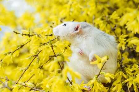 Cute white and grey dumbo fancy rat sitting in gorgeous spring yellow forsythia Easter tree flower blossom inhaling floral fragrance. Chinese New year 2020 symbol christmas greeting post card