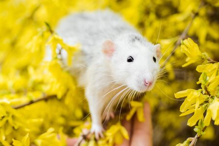 Lovely white and grey dumbo fancy rat sitting on girl's hand in gorgeous spring yellow forsythia Easter tree flower blossom inhaling floral fragrance. Chinese New year 2020 symbol christmas greeting post card