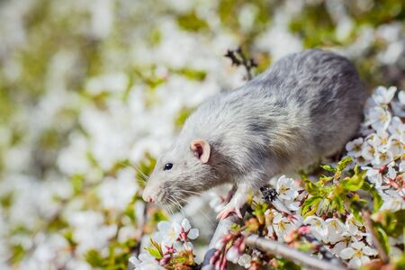 Cute white and grey dumbo fancy rat sitting in gorgeous spring white cherry blossom. Chinese New year 2020 greeting post card